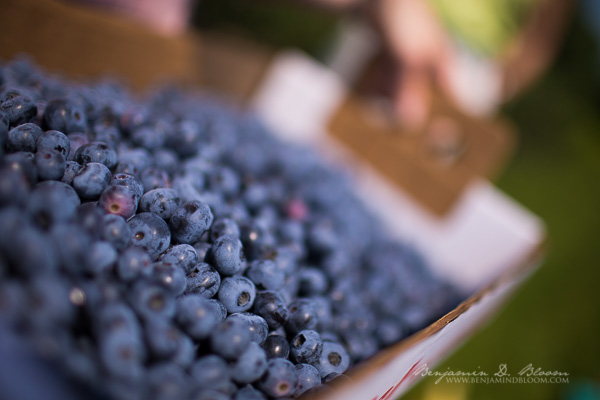 Blueberry Picking at Adam's Berry Farm